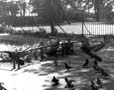 b&w photo pigeons flying in park