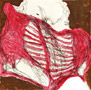 anatomical biology ribs blood bones muscles